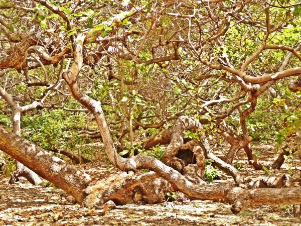 Cajueiro Rei do litoral do Piauí. Tudo é uma mesma planta gigante. (Crédito: Alcide Filho)