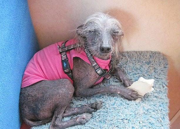 Cachorro Mais Feio Do Mundo Morre E Deixa Web Aos Prantos Fotos